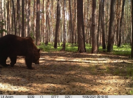 Brown bear in Chernobyl Exclusion Zone
