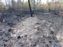 Ash on forest floor following wildfire in the Red Forest, Chernobyl Exclusion Zone, Ukraine.
